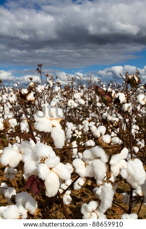 Cotton field with popped bolls of cotton ready for harvesting. - stock photo