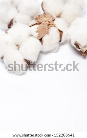 cotton flower on white background - stock photo
