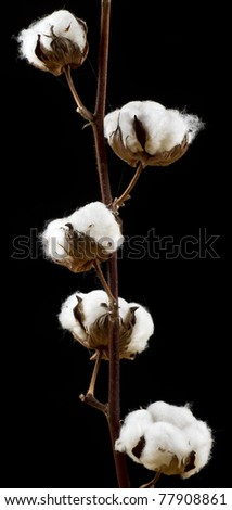 Cotton flowers over black background - stock photo