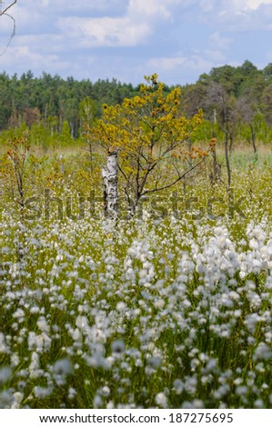 cotton grass, Eriophorum in moor