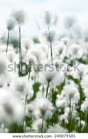 Cotton grass in the light of a bright sunny day - stock photo