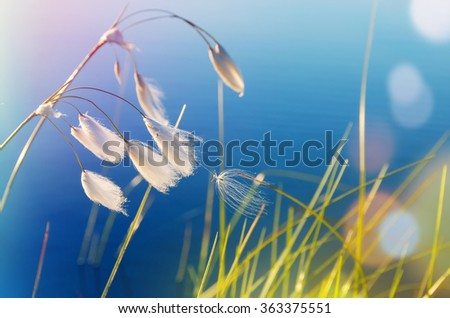 Cotton grass in windy weather against water - stock photo