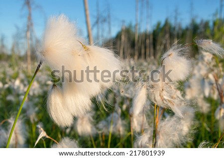 Cotton grass on a bog close up - stock photo