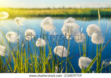 Cotton grass on the lake - stock photo