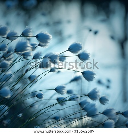 Cotton grass on the lake on a summer evening - stock photo