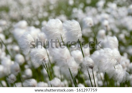 Cotton Grass. Windy weather. - stock photo