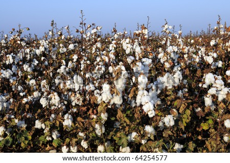 Cotton in the field, Southern San Joaquin Valley, California, ready to harvest