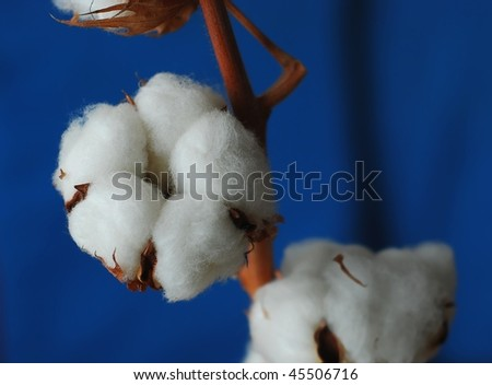 Cotton plant - stock photo