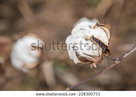 Cotton Plant Close-up - stock photo