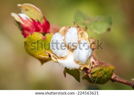Cotton plant closeup - stock photo