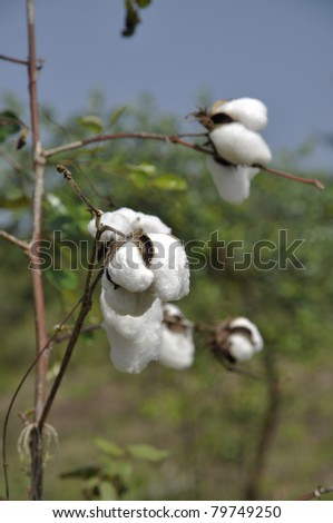 Cotton Plant Field Outdoor Day - stock photo