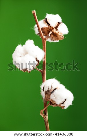 Cotton plant isolated over a green background - stock photo