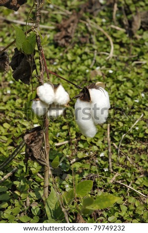 Cotton Plant Outdoor Day Field - stock photo