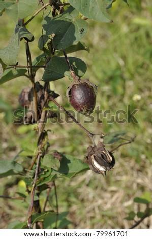 Cotton Plant Outdoor Farm Garden Field Thailand - stock photo