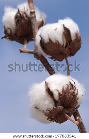 Cotton plant. Ripe cotton ready for harvesting.  - stock photo