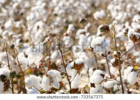 Cotton Plant Stock Images RoyaltyFree Images Vectors