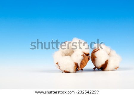 Cotton soft plant with reflection on blue background - stock photo