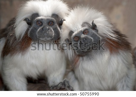Cotton top tamarin in a zoo enclosure