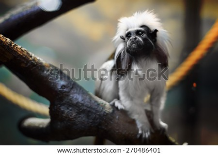 Cotton-top tamarine closeup in zoo from Moscow - stock photo