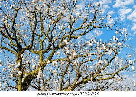 Cotton tree against the blue sky with white clouds - stock photo