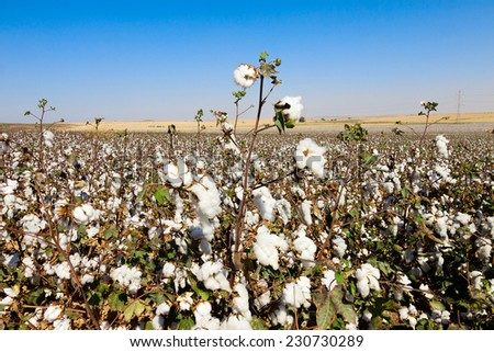 Cottons field with ripe cottons bush under blue sky - stock photo