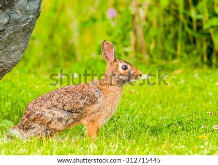 Cottontail Rabbit sitting on a footpath looking into the woods. - stock photo