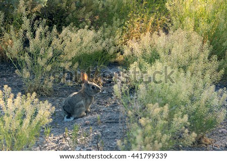 Cottontail rabbits among the desert vegetation in New Mexico