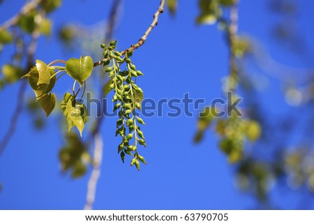 Cottonwood Tree Buds A budding cottonwood tree in the spring. Horizontal. - stock photo