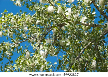 Cottonwood tree with cottony seeds in early summer on the Colorado prairie - stock photo