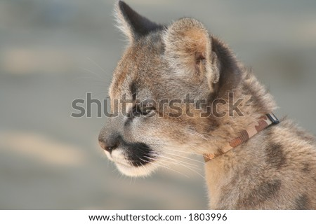 Cougar Cub - stock photo