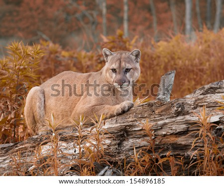 Cougar in Fall Foliage - stock photo