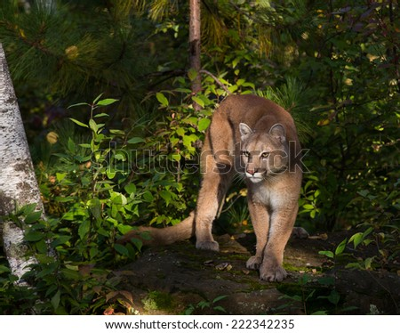 Cougar in morning sun - stock photo