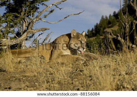 Cougar lays down on a hillside