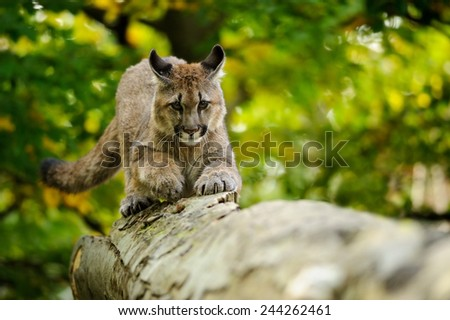 Cougar on fallen tree trunk in green forest from front view - stock photo