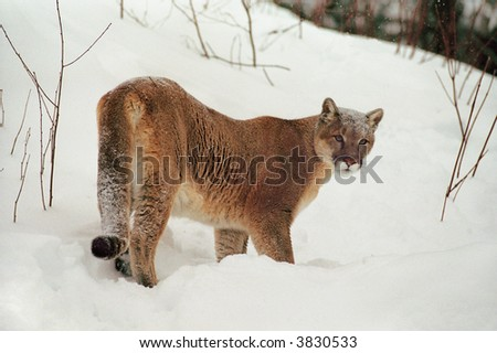 cougar or mountain lion in winter scene (captive environment) - stock photo