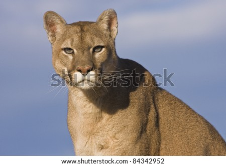 Cougar (Puma concolor) staring with blue sky background - stock photo