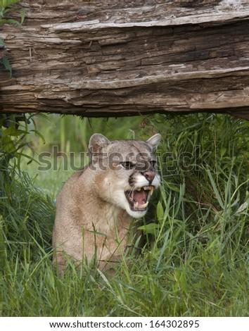 Cougar Snarling - stock photo