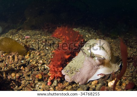 Could it be possible for an orange sea cucumber and a Lewis moon snail to find love and affection in the ocean depths? - stock photo