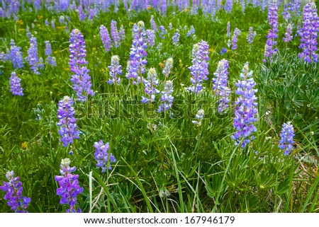 Countless silver lupine grows in the high country of America's Rocky Mountains - stock photo