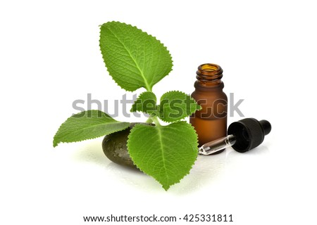 Country Borage, Indian Borage, Essential Oil: containing carvacrol, cyperene, thymol, ?-terpinene, antioxidants. Antibacterial th Protease inhibitors inhibit yeast and fungi infection from HIV.  - stock photo