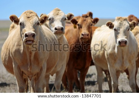 Country Cows With Attitude - A portion of a herd of cows seems to be in a bad mood, with the pregnant one on the left as the spokesperson for the female group (focus point on head of cow at left). - stock photo