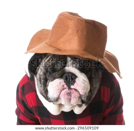 country dog - dog humanized with western hat and sweater - bulldog - stock photo