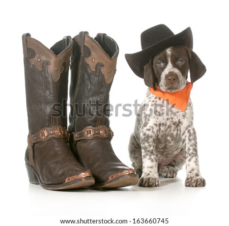 country dog - german shorthaired pointer wearing western hat sitting beside western boots isolated on white background - 7 weeks old - stock photo