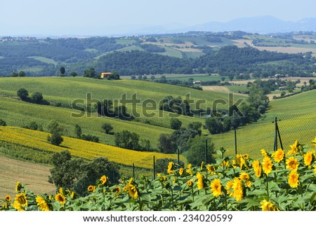 Country landscape between Osimo and Jesi (Ancona, Marches, italy) at summer