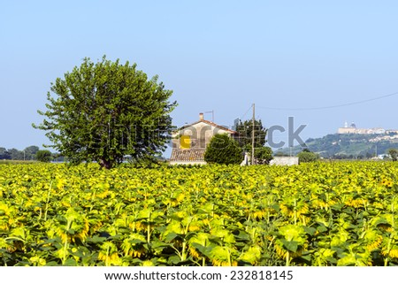 Country landscape near Recanati (Macerata, Marches, Italy) at summer with sunflowers