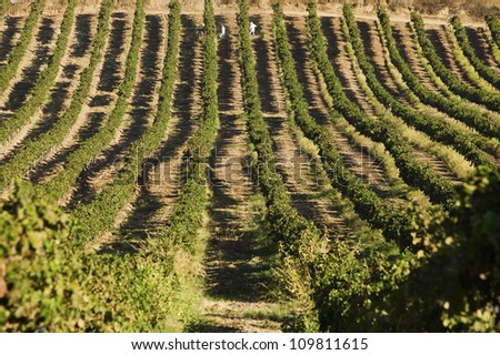 Country landscape with rows of vineyards during summer