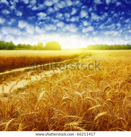 Country road in wheat field at sunset. - stock photo
