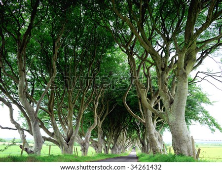Country road lined with sycamore trees in Northern Island - stock photo