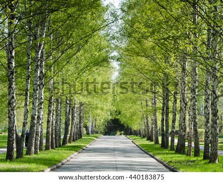Country road running through birch tree alley in a beautiful summer day