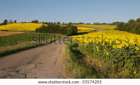Country road winding through fields of sunflowers - stock photo
